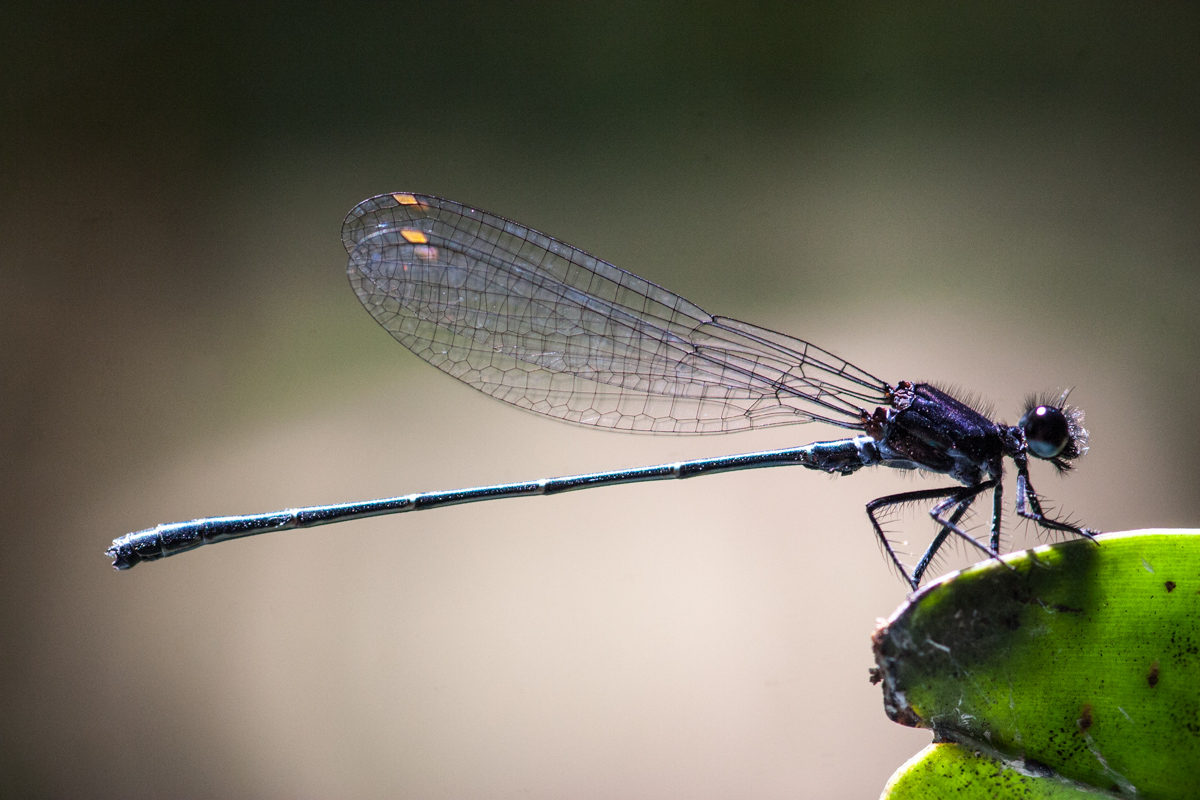 Perched Damselfly