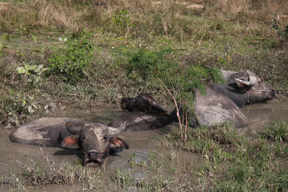 Languid Water Buffalo