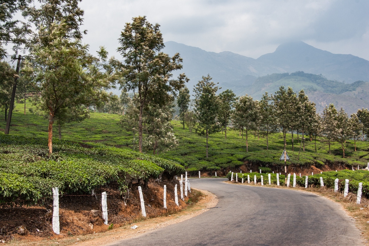 Road Through a Tea Estate