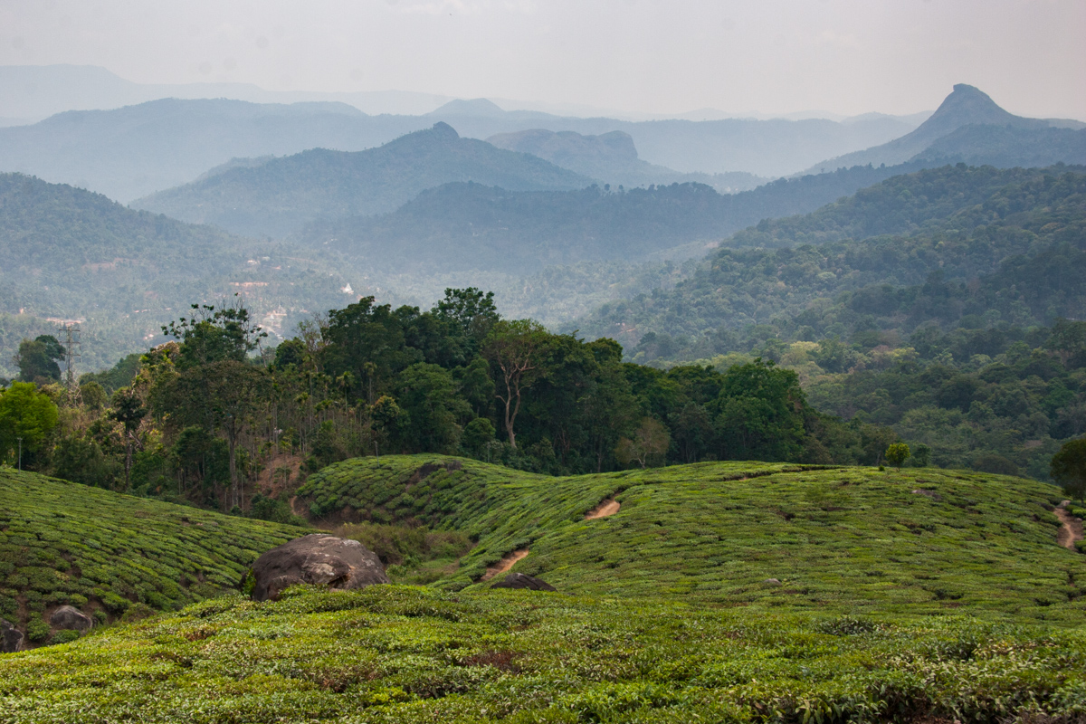 Tea Garden with Mountains in the Background