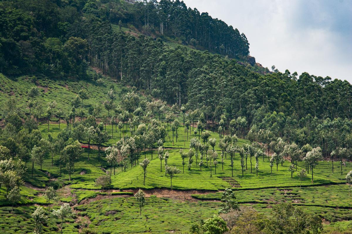 Tea Growing on the Hillside