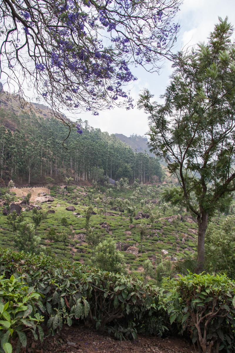 Tea Garden with Jacaranda