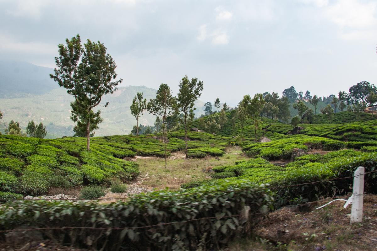 Tea Garden from the Van 1