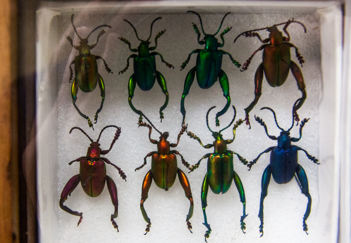 Frog Legged Beetles