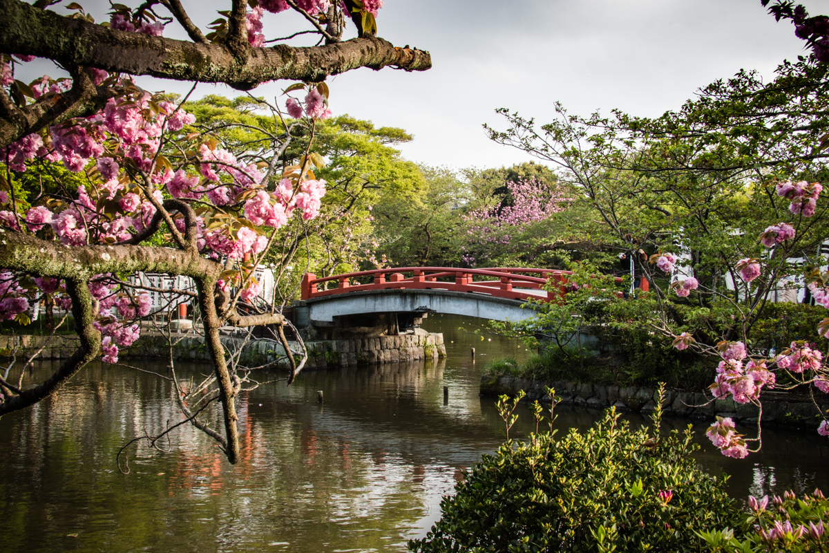 Bridge and Cherry Trees