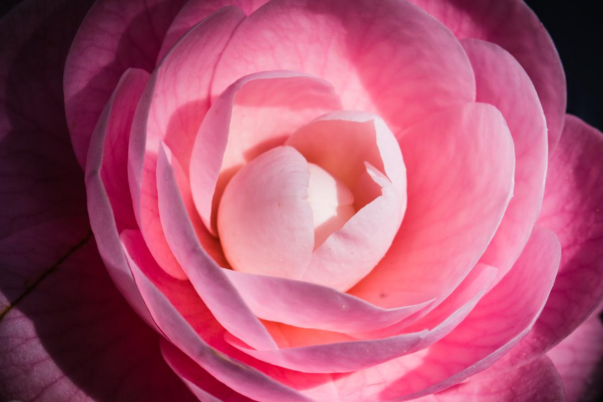 Camellia Glow