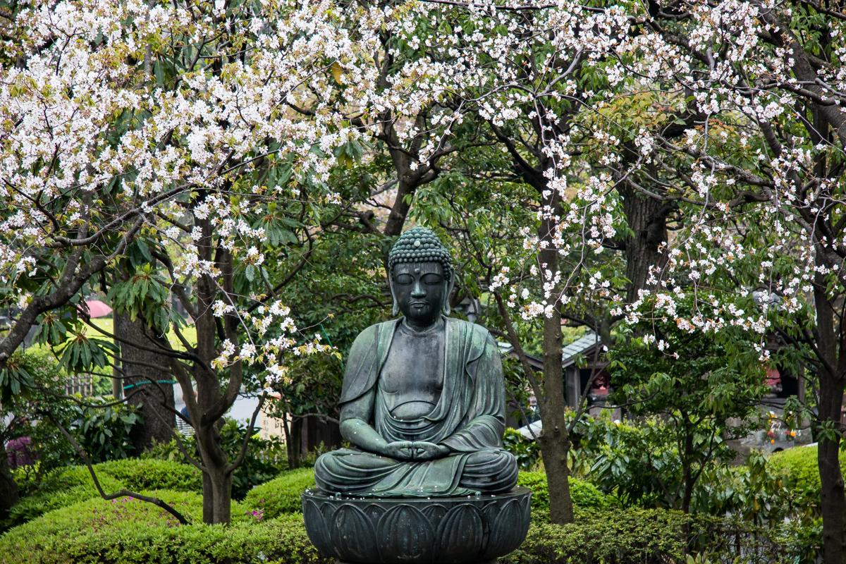 Buddha Among Sakura