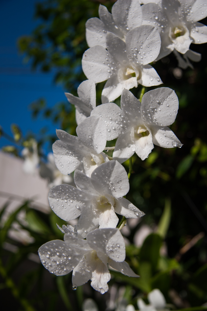 Jeweled Orchids