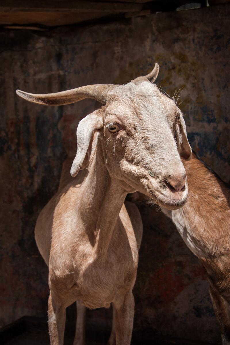 Gregarious Goat