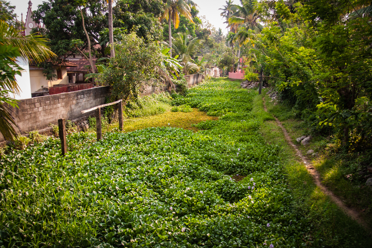 Canal Filled with Water Hyacinth