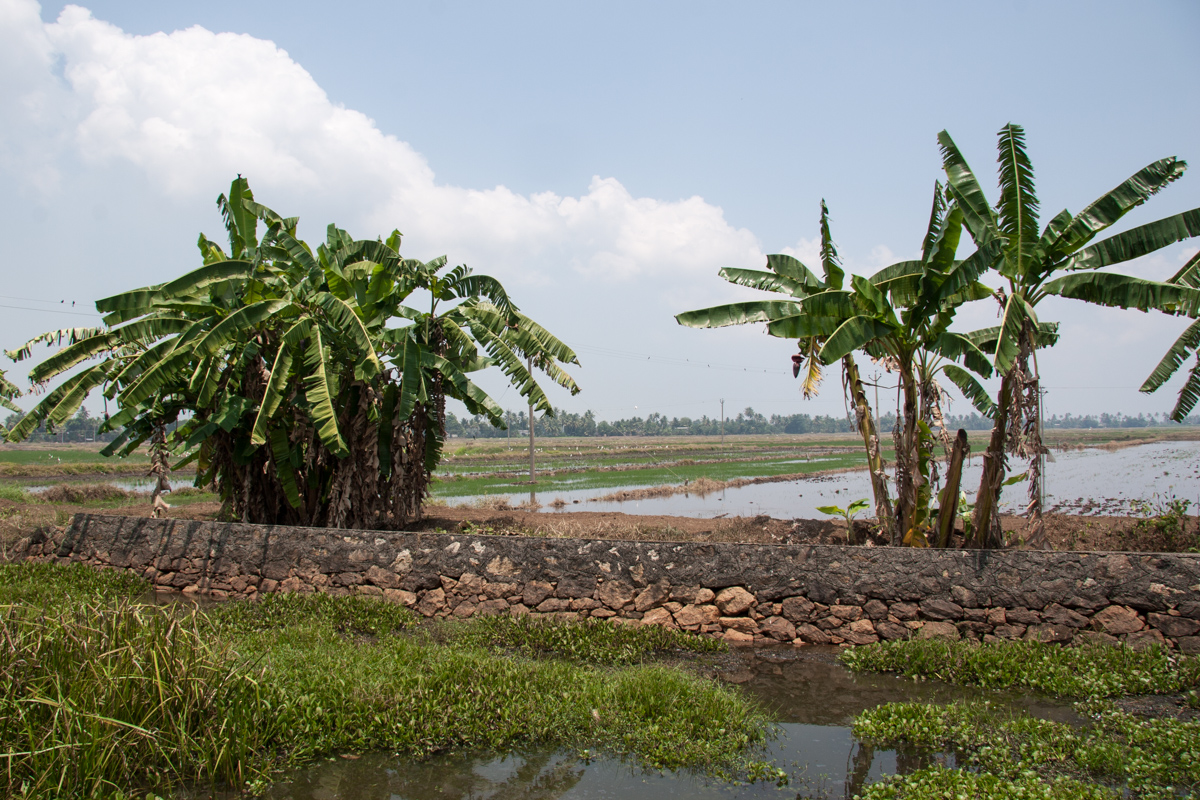 Banana Trees and Paddy Field