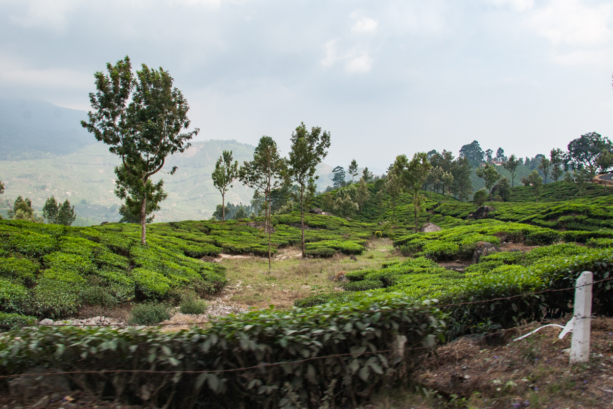 Tea Garden from the Van 1