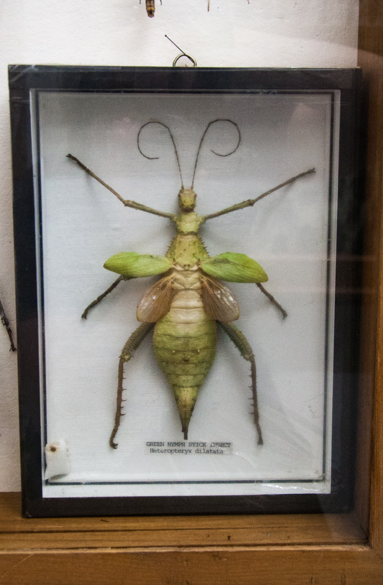 Green Nymph Stick Insect