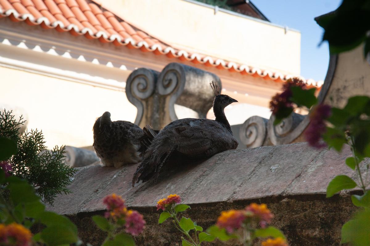 Resting Peafowl