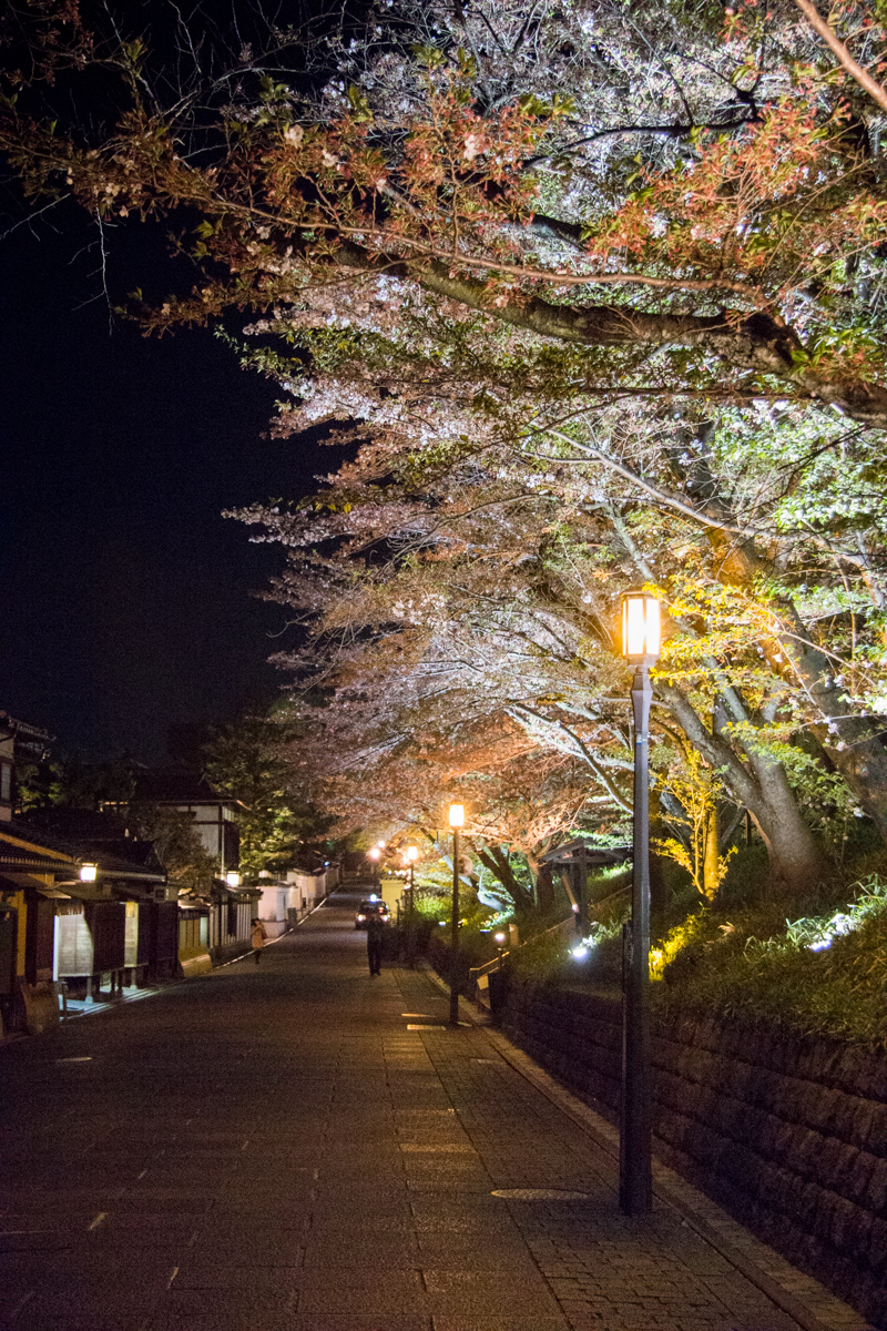 Illuminated Sakura