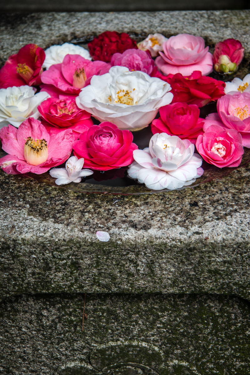 Camellias in Fountain