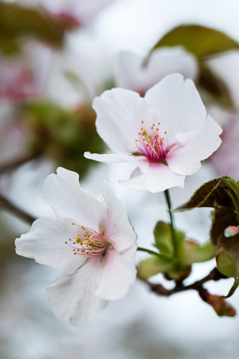White Sakura 2