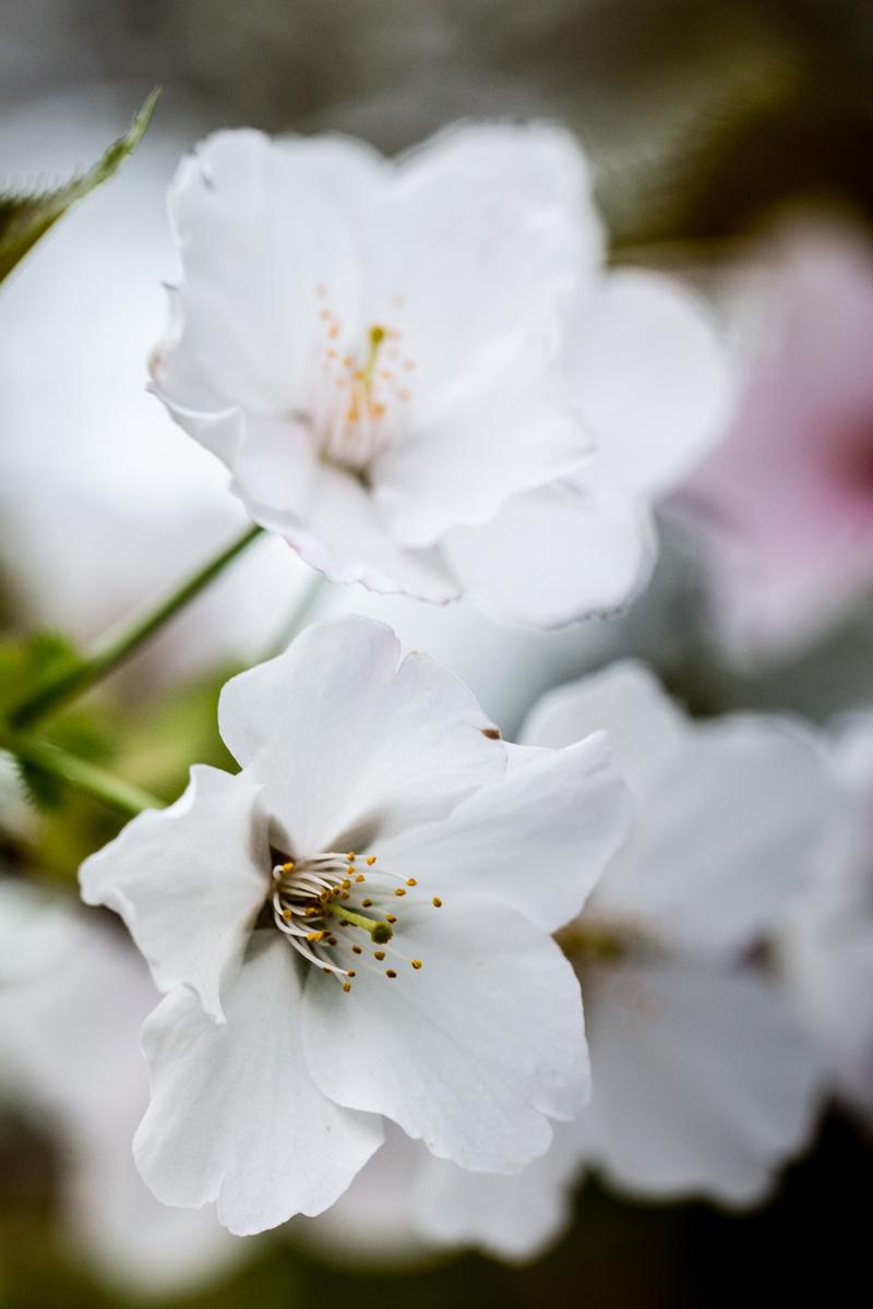 White Sakura 3
