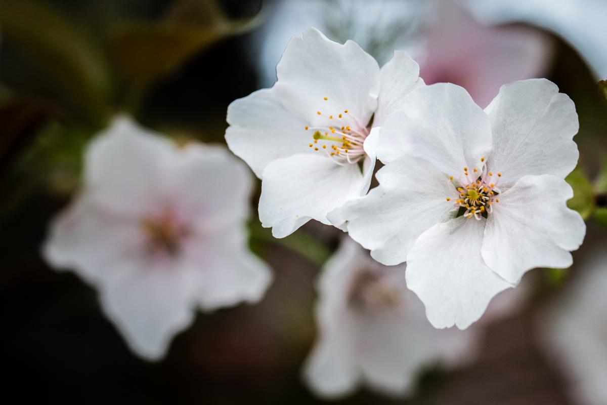 White Sakura 1