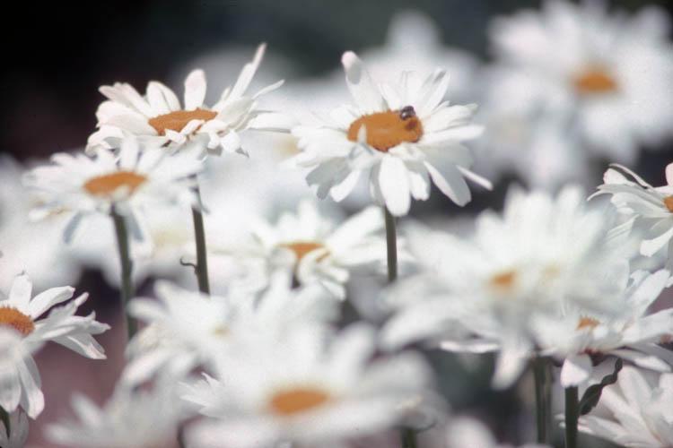 blurred_daisies.wrk