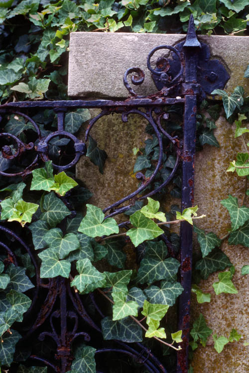 Iron Gate with Ivy