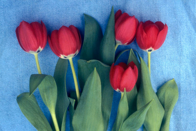 Red Tulips on Blue Denim