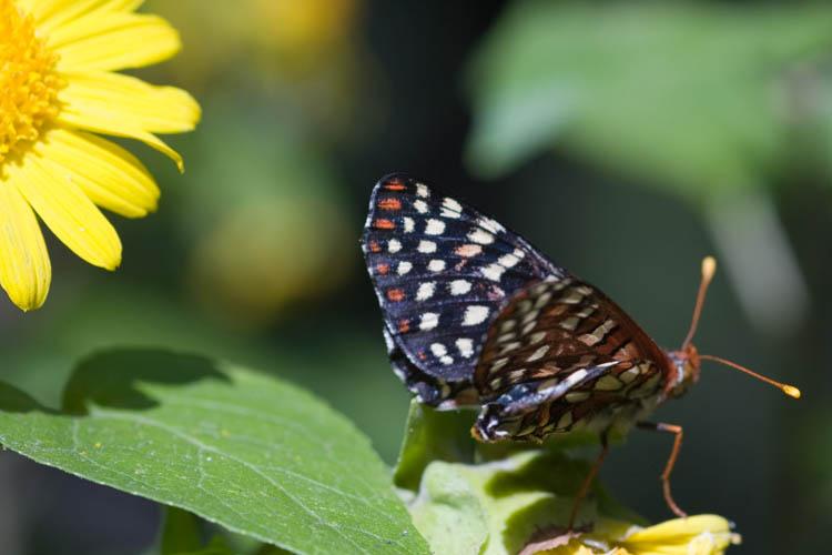 Chalcedon Checkerspot butterfly in the Santa Barbara botanical gardens.