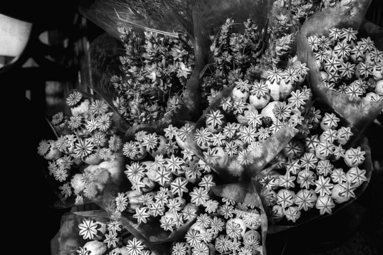 dried_star_flowers_wrk